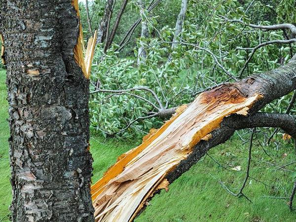 倒れそうな木の伐採